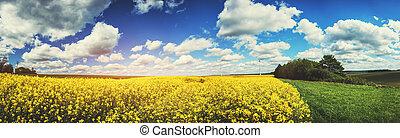verão, rapeseed, campo, paisagem, panorâmico