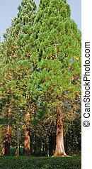 verão, redwood, árvores, tempo