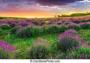 verão, sobre, cor campo alfazema, pôr do sol, tihany, hungria