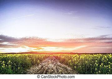 verão, sobre, pôr do sol, canola, campo