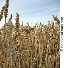 verão, trigo, detalhe, tempo