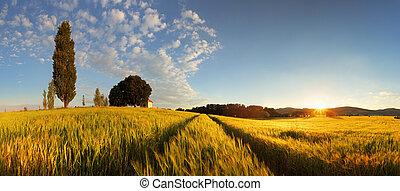 verão, trigo, panorama