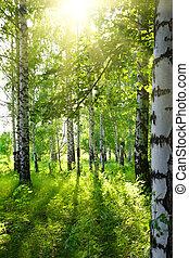 verão, vidoeiro, madeiras, com, sol