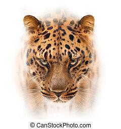 ver oostelijk, luipaard, gezicht, vrijstaand, op wit