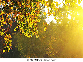 verano, bosque, árboles, abedul