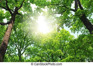 verano, bosque, árboles