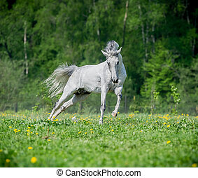 verano, caballo, blanco, Funcionamiento, pasto