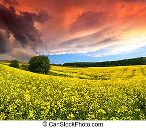 verano, campo amarillo, flowers., dramático, ocaso, paisaje
