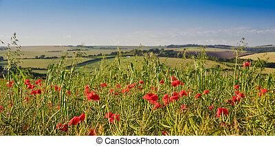 verano, campo, campo, inglés, amapola, paisaje