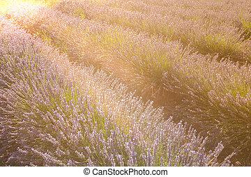 verano, campo lavanda, en, provence, francia