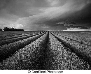 verano, campo lavanda, maravilloso, negro, ocaso, blanco,...