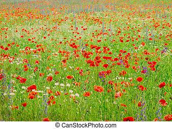 verano, campo maíz, brillante, amapola, flores, rojo