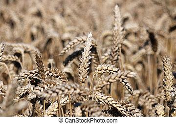 verano, cierre, trigo, Arriba, estación