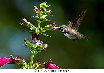 verano, encima, brillante, plano de fondo, colibrí