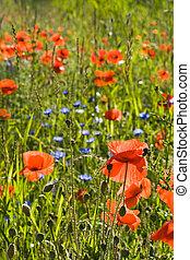 verano, flores, amapola, campo