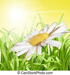 verano, -, fondo., verde, margarita, pasto o césped