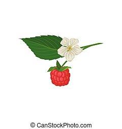 verano, hoja, maduro, flower., plano, verde, jugoso, comida., pequeño, vector, puntilla, ahorcadura, berry., orgánico, frambuesa, icono