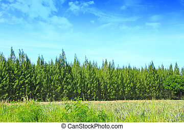 verano, pino, bosque, en, cielo, plano de fondo