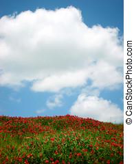verano, pradera, con, flores rojas, y azul, cielo