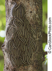 verano, thaumetopoea, moth, roble, -, árbol, orugas, ...
