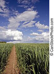 verano, tiempo, trigo, campo