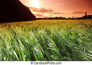 verano, trigo, campo