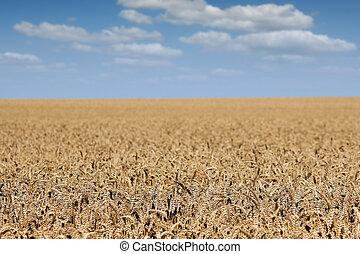 verano, trigo, dorado, estación, campo, paisaje