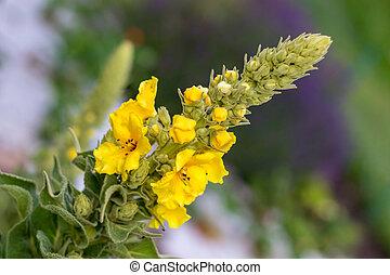 verbascum, zahrada, podělanost květovat, mullein