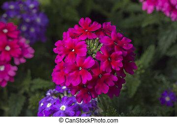 Verbena Flower Close Up