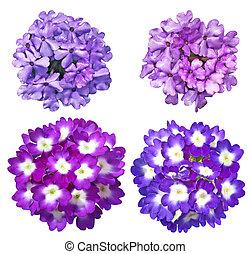Verbena Flower set