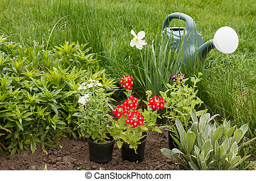 Verbena flowers and watering can in a garden bed.