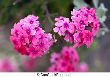 Verbena flowers on bokeh background