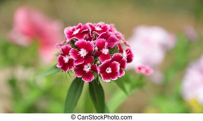 Verbena Hybrid Red Pink White Flowers HD Footage
