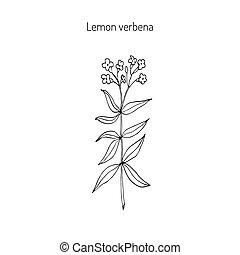 verbena limão, aromático, e, medicinal, plant.