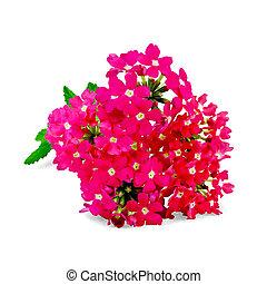 Verbena pink with leaf