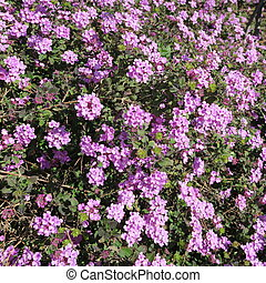 Verbena, purple perennial flowers with many small flowers