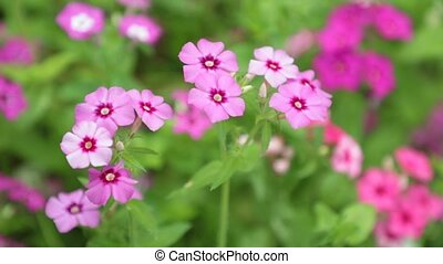 Verbena Red Pink White Flowers HD Footage