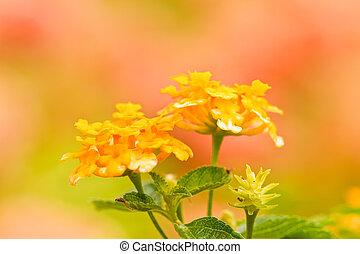 verbenas, fleurs