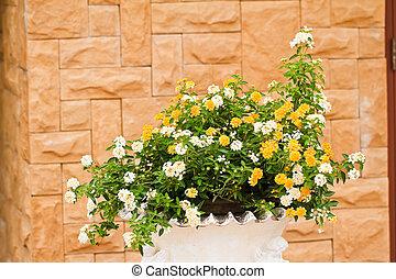 verbenas, kwiaty