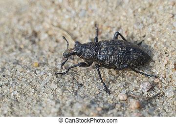 verdadeiro, -, hollbergi, weevil, coniocleonus