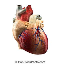 verdadero, corazón, -, anatomía, humano, modelo