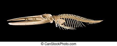 verdadero, esqueleto, aislado, fondo negro, ballena