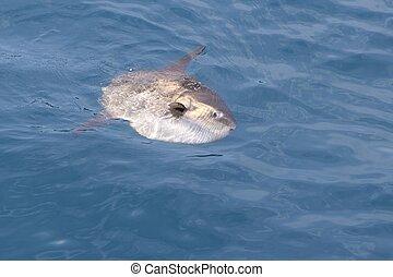 verdadero, naturaleza, sol, pez, luna, mar, mola, sunfish