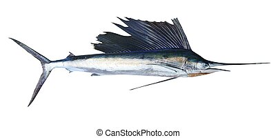 verdadero, sailfish, pez, blanco, aislado