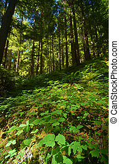 verdant mountain forest floor on the Olympic Peninsula in Washington State