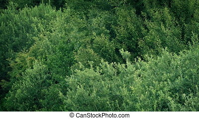 Verdant Trees In Gentle Breeze - Dense trees and bushes sway...
