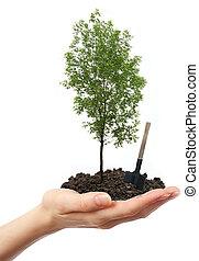 verde, árbol ceniza, mano