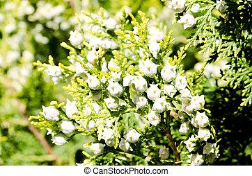 verde, árbol del ciprés, conos, fresco