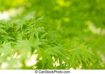 verde, árvore maple