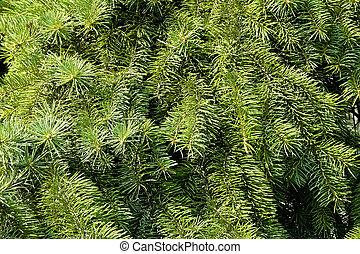 verde, abeto